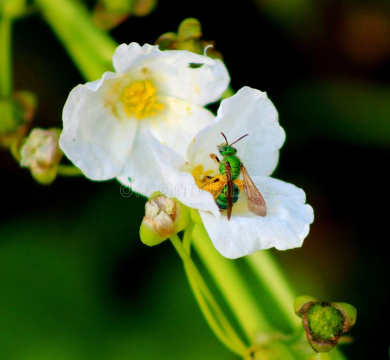 The little green wasp stock photos