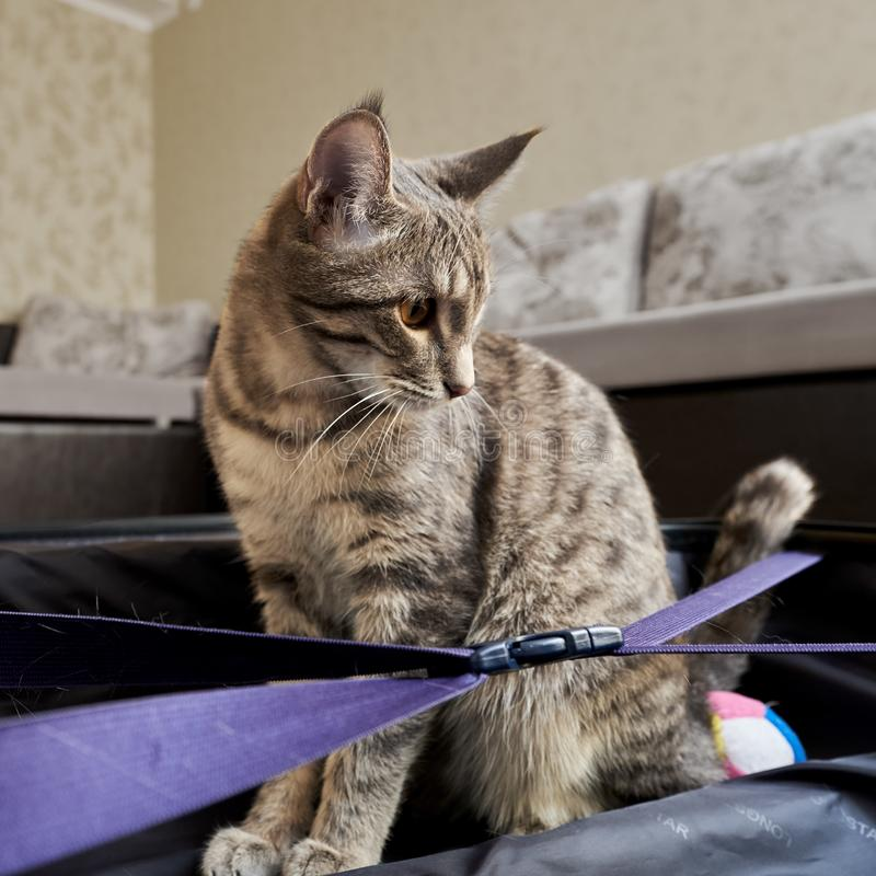 Little grey cat with tassels on the ears. Playing with big bag on carpet royalty free stock photos