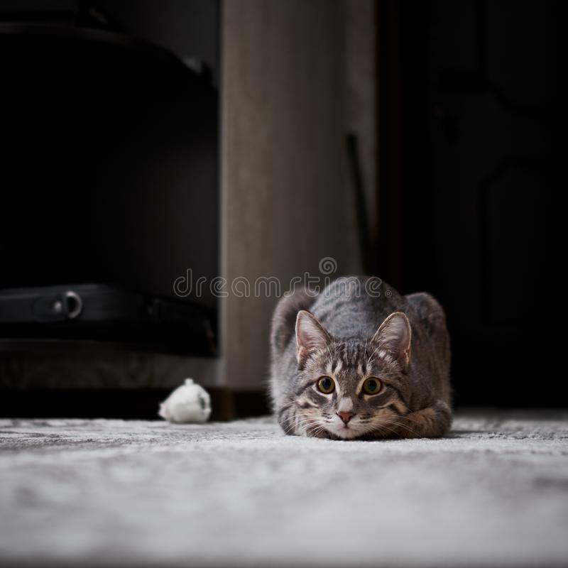 Little grey cat with tassels on the ears. Playing at home stock photo