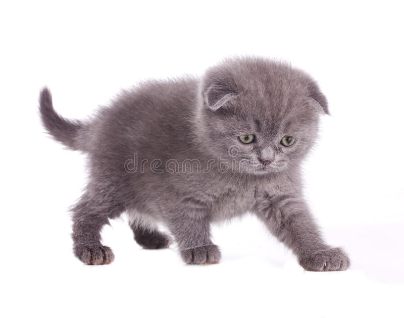 Download Little Grey Kitten Royalty Free Stock Photo - Image: 24340225