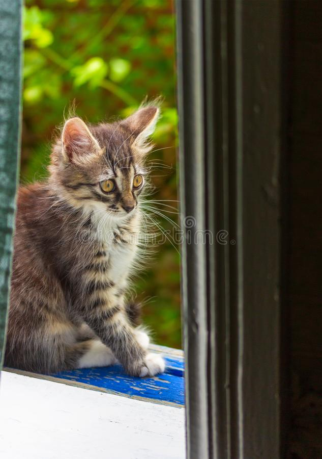 Grey kitty sitting at the window stock photography