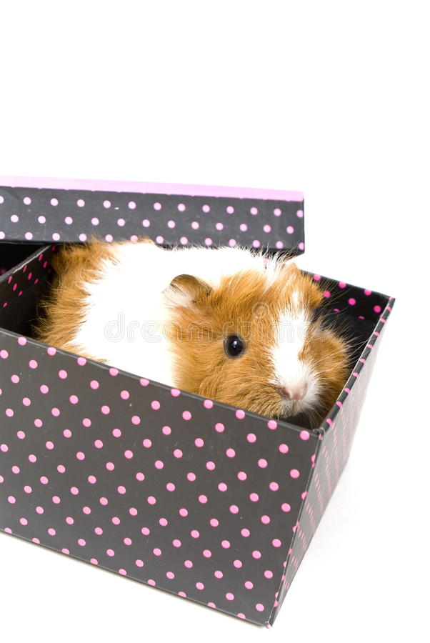 Download Little guinea pig stock image. Image of brown, guinea - 12328439