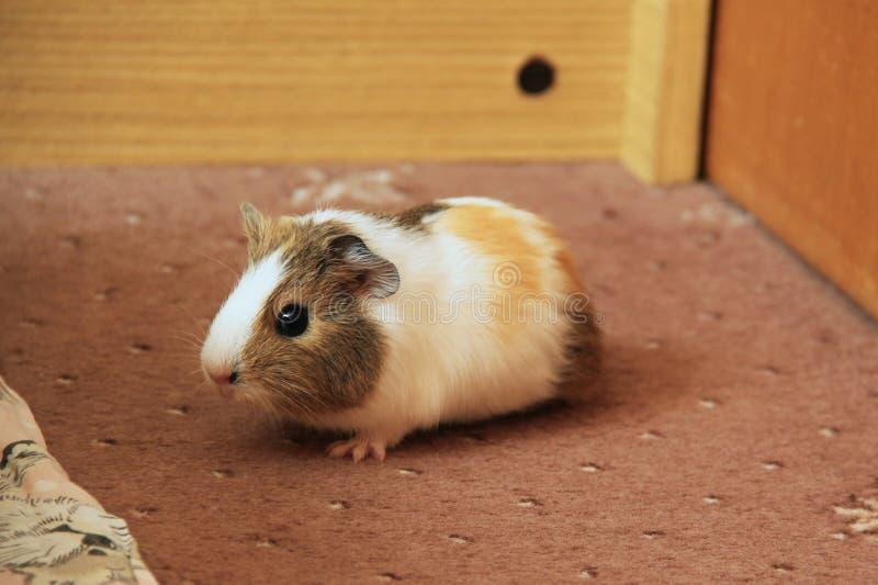 Little guinea pig stock image