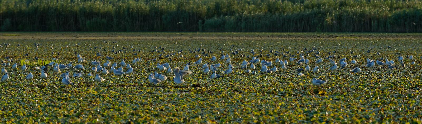 Little gulls on field of water chestnuts in Danube delta royalty free stock images