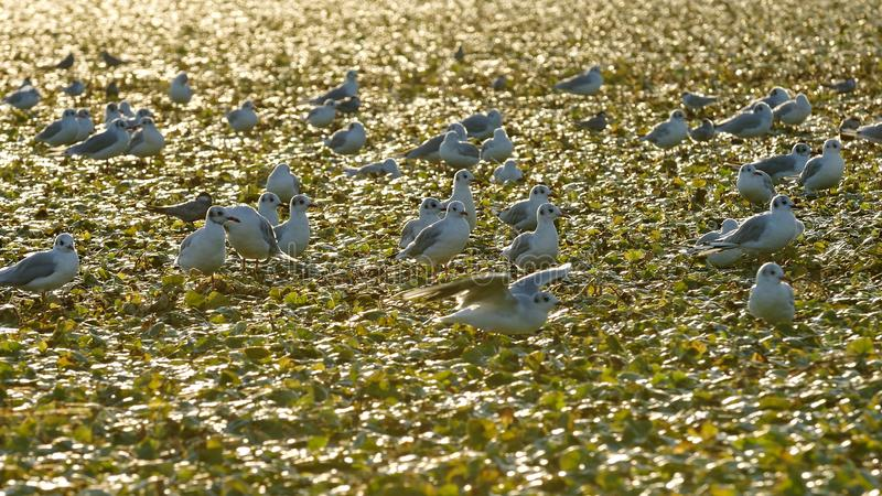 Little gulls on field of water chestnuts in Danube delta royalty free stock photo