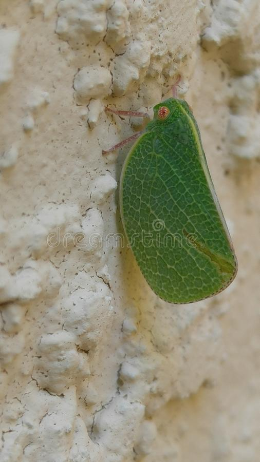 Leaf insect on rock wall. This little guy posed for me royalty free stock photography