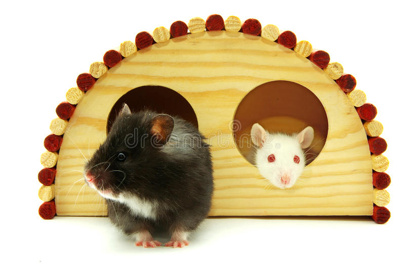 Little hamster royalty free stock image
