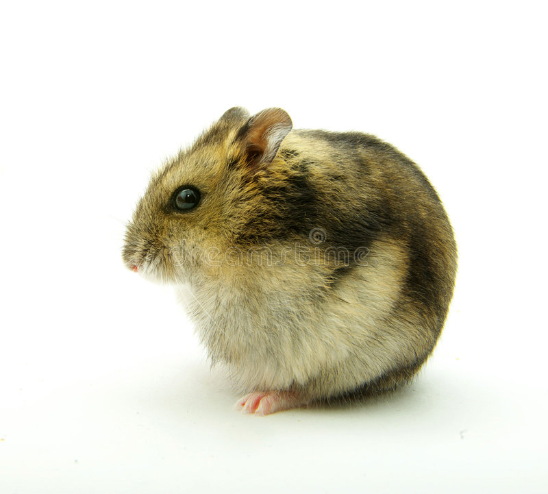 Little hamster royalty free stock images