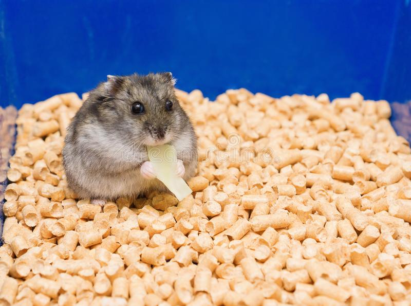 Little hamster eats royalty free stock photo