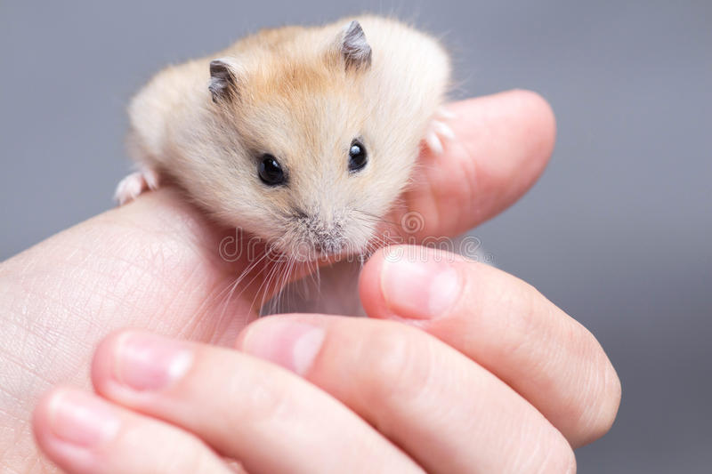 Little hamster in the hands of women stock photo