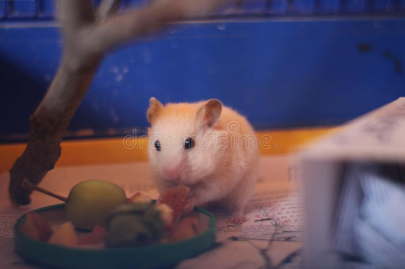 The little red hamster stock images