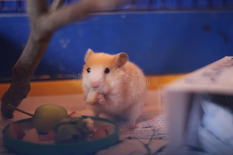 The little red hamster stock image