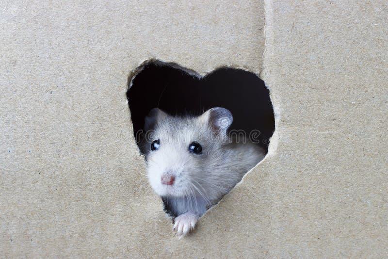 Little hamster looks through a hole in heart shape in cardboard box stock photos