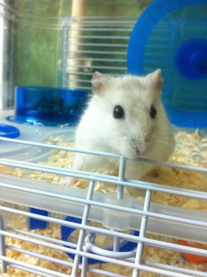 little hamster stock image