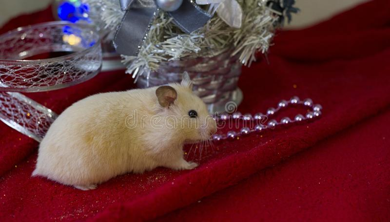 Little hamster sits on a green background of Christmas decorations and lights. Background for design.Happy New Year 2020 royalty free stock photo