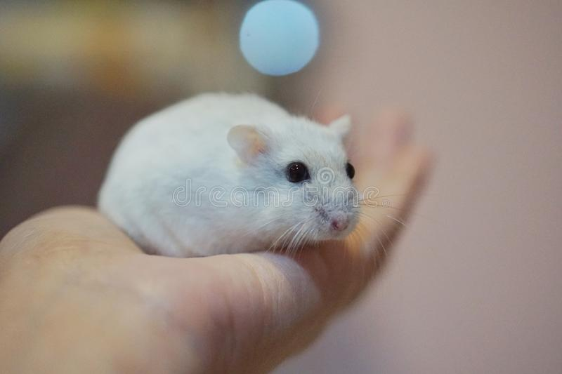 little hamster stock photography