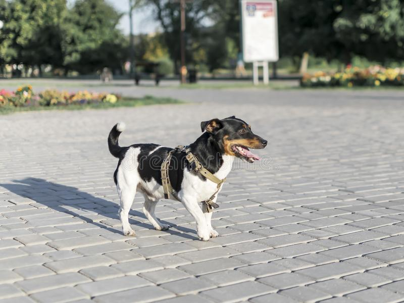 Little happy purebred dog Jack Russell Terrier walking through the summer city park stock photo