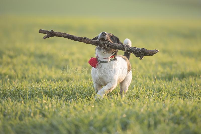 Little cute  happy size madness Jack Russell Terrier dog carries a large branch on a green meadow. Little happy size madness Jack Russell Terrier dog carries a stock images