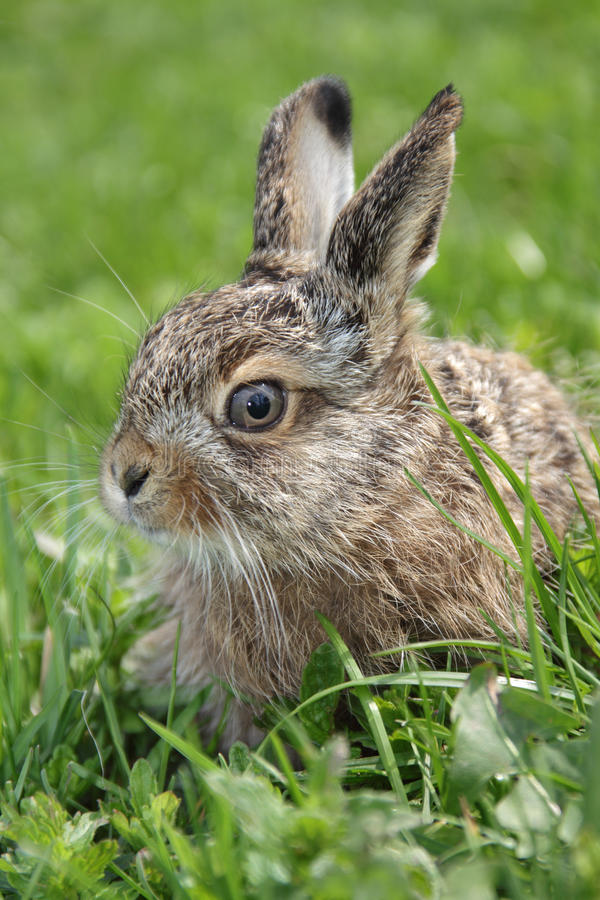 Download Little Hare Stock Image - Image: 15522051