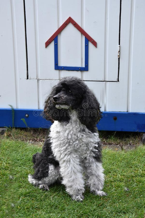Harlequin poodle in front of a garden shed stock photos