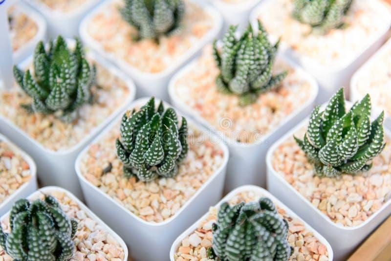 Little Haworthia in mini pot royalty free stock image