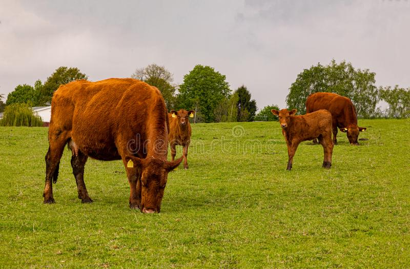 A little hed of brown cows and calves graze in a green meadow stock photo
