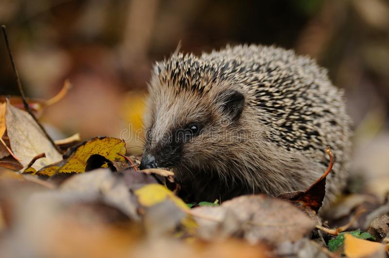 Little Hedgehog. This little hedgehog i can photograph between the leaves on the bottom stock photo