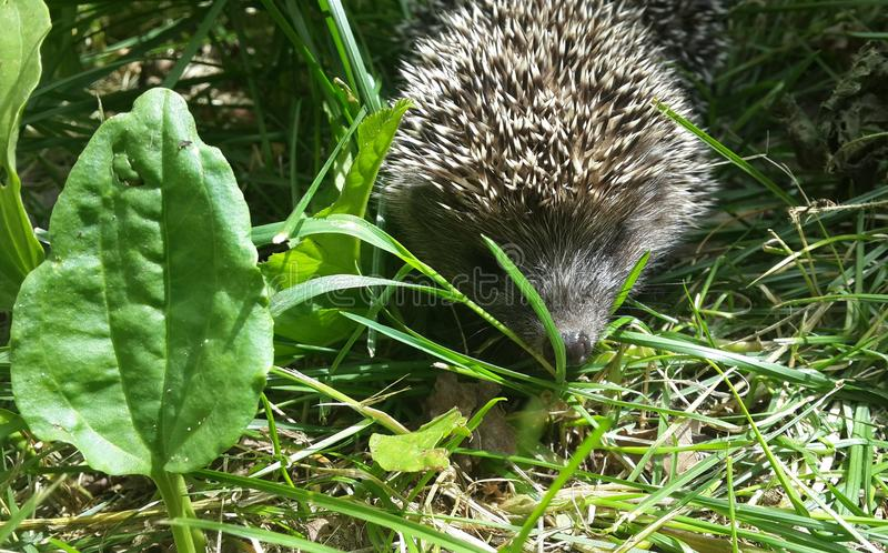 Little hedgehog in the grass. Little hedgehog walks in the green grass on a sunny day stock photo