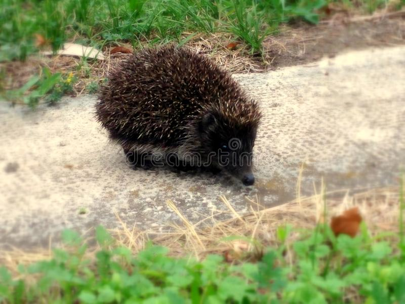 Little hedgehog. Small hedgehog sitting on the sidewalk in the centre of Budapest. Hedgehogs are important for pest control and are/should be protected stock photo
