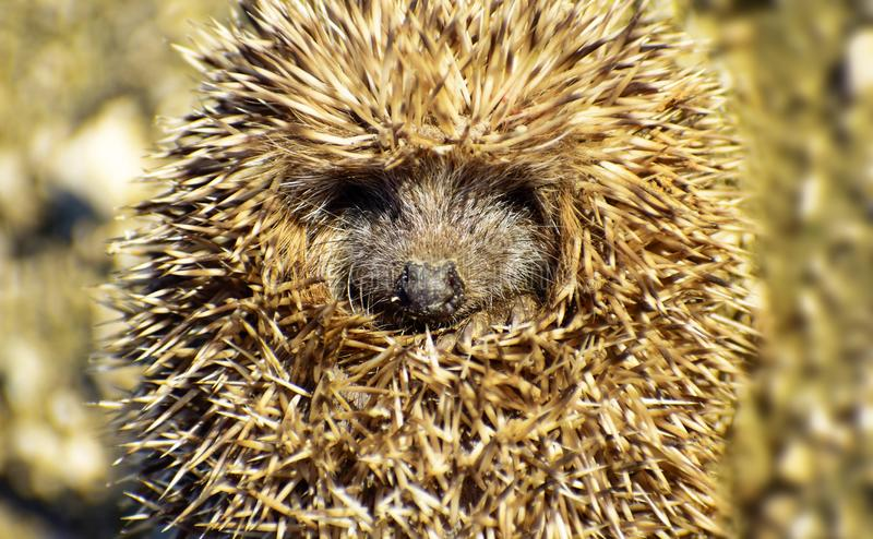 Little hedgehog unrolling, uncurling or unfolding. Close-up view of a hedgehog ball defending himself. Animal themes. Portrait of. Cute hedgehogs awake brambles royalty free stock photos