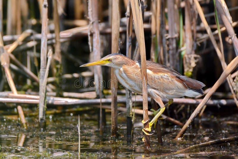 Heron in Danube Delta stock photos