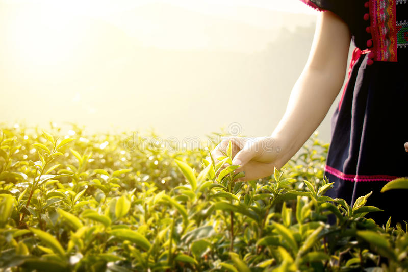 Little hill tribe farmer from Thailand picking tea leaves on tea stock photography