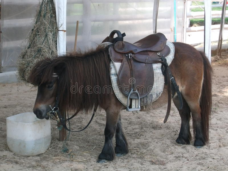 Little horse royalty free stock image