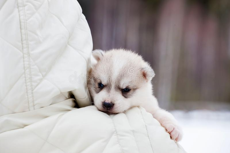 Little husky puppy in the arms of a man looks over his shoulder stock photos