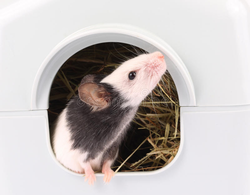 Download Little Mouse Coming Out Of It's Hole Stock Image - Image: 30098037