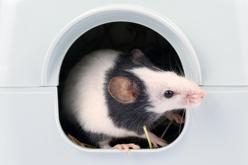 Little Mouse Looking Out Of It S Hole Stock Image