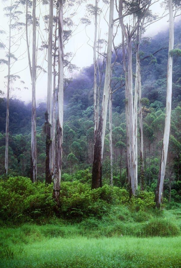 Download A little jungle stock image. Image of eucalyptus, origin - 13731153