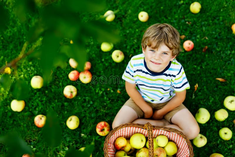 Little kid boy picking red apples on farm autumn stock photography