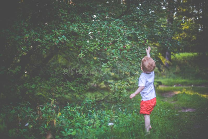 Little kid in nature forest. Trying to pick up berry from a tree. cute two years boy getting to know forest and plants royalty free stock photography