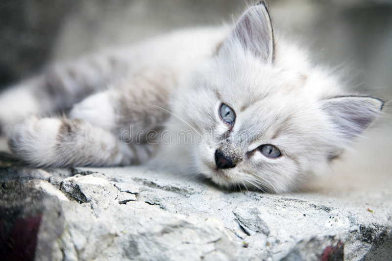 Little Kitten. With Blue Eyes stock photography