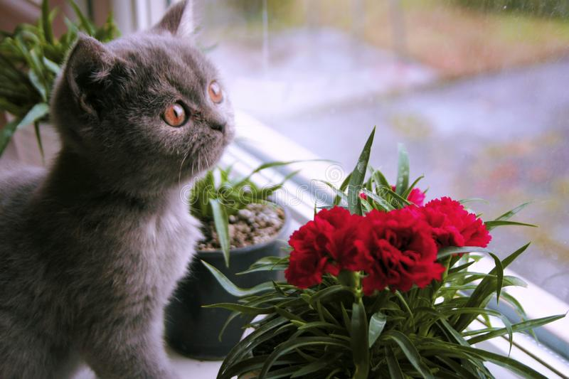 Little gray kitten admires the flower stock photo