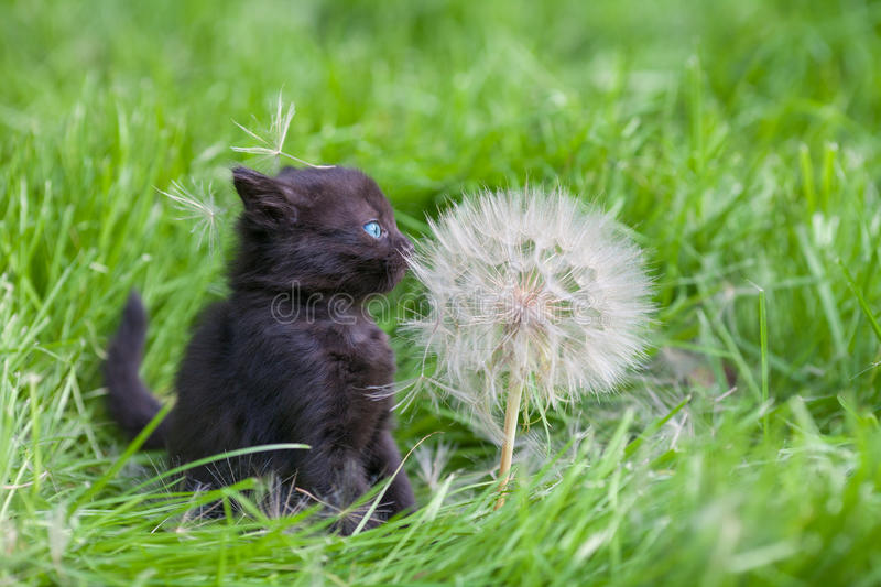 Little kitten with big dandelion. With seeds on green lawn royalty free stock images