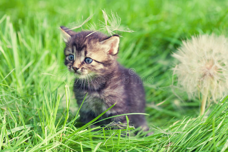 Little kitten with big dandelion. With seeds on green lawn royalty free stock photo
