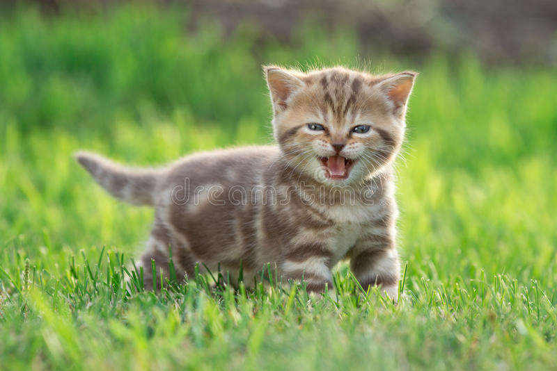 Little kitten cat meowing in the green grass stock photography
