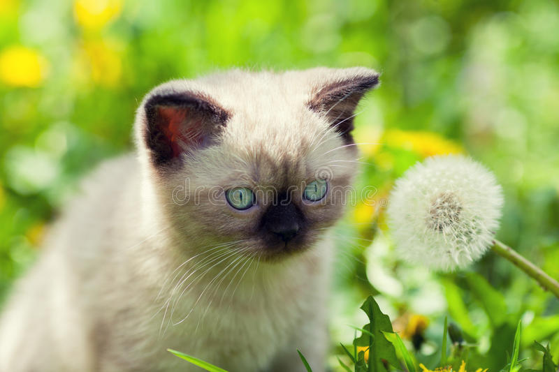 Little kitten with dry dandelion royalty free stock photos
