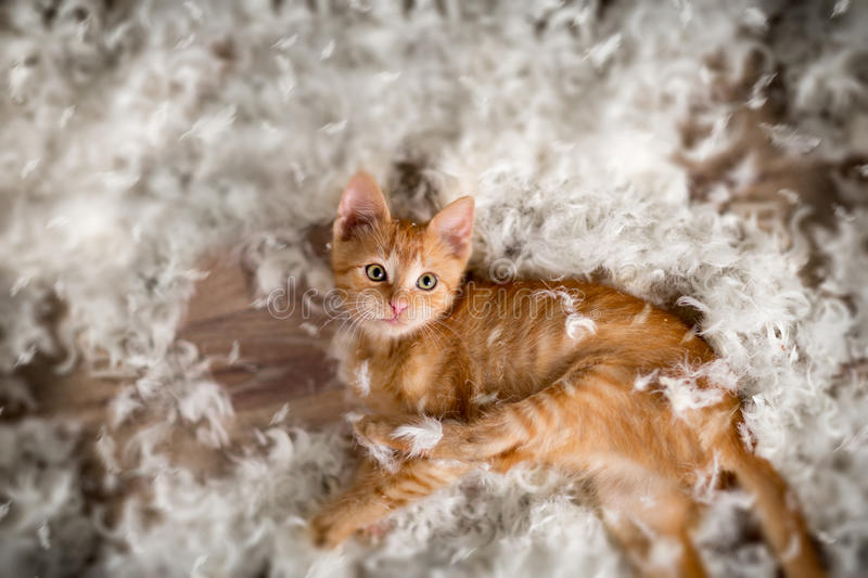 Little kitten and feathers royalty free stock photo