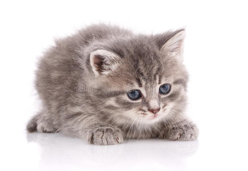 Little kitten isolated on a white background royalty free stock photos