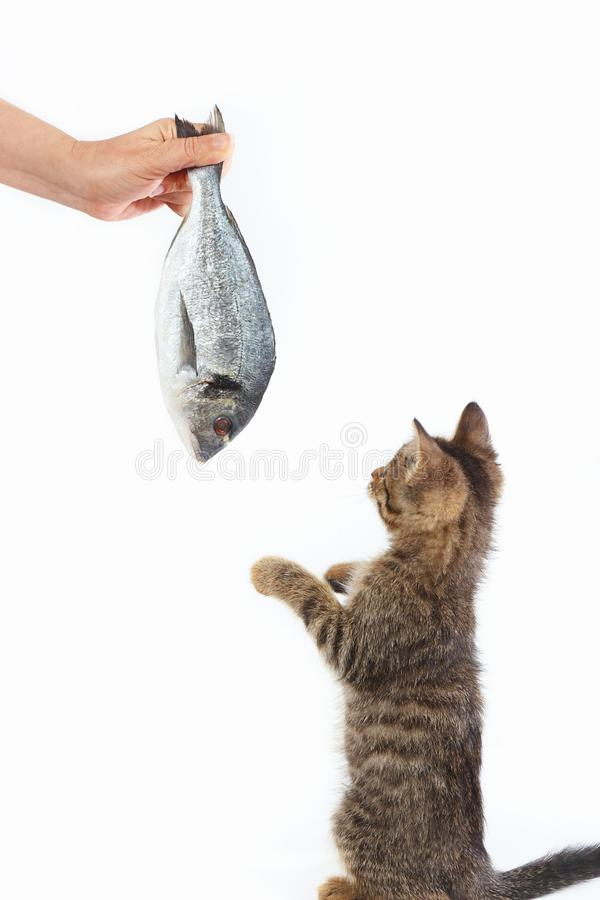 Little kitten looking at dorado fish which gives it a woman`s hand on white background royalty free stock photography