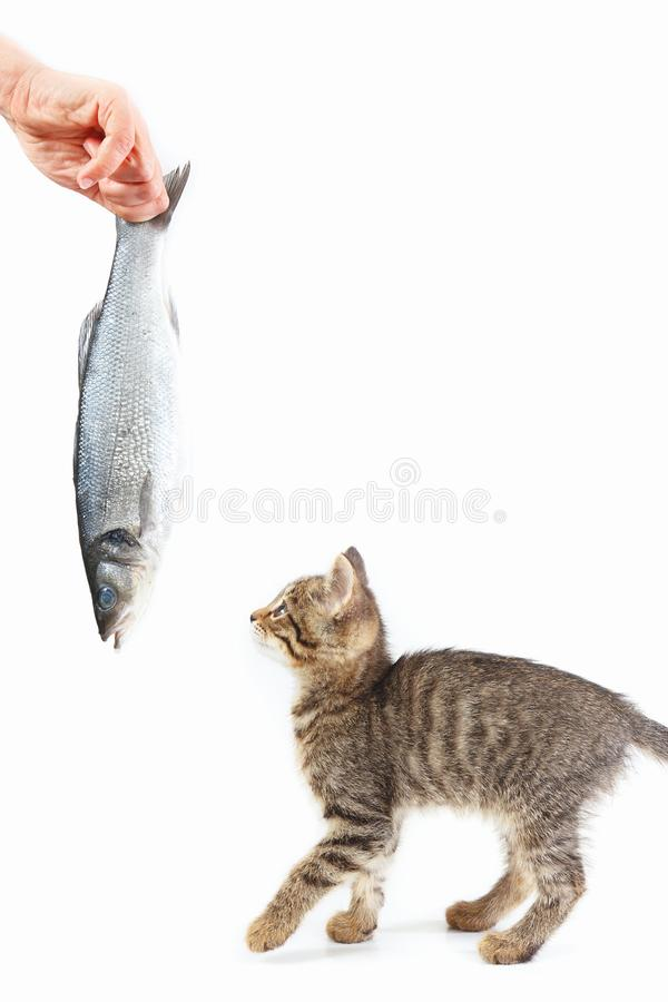 Little kitten looking at sea bass fish which gives it a female hand on white background stock photo