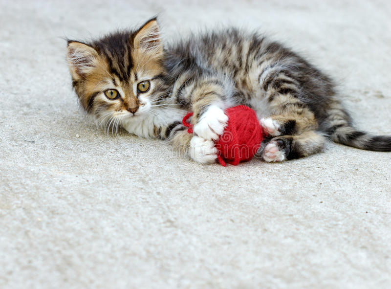 Download Little kitten playing stock photo. Image of cute, breed - 36302834